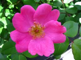 Jenis bunga mawar-mawar liar